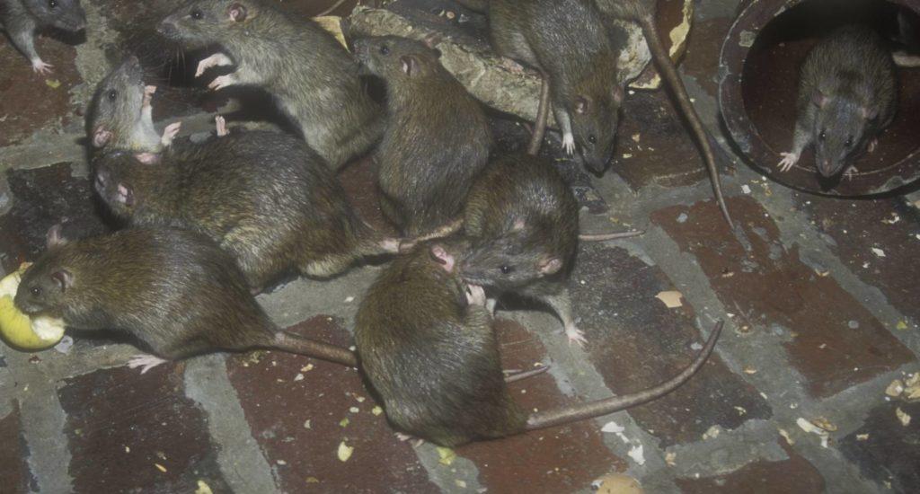 уничтожение крыс в Казани